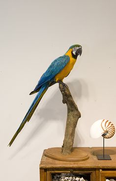 Blauwgele Ara British Colonial, Taxidermy, Art Forms, Parrot, Shops, Interiors, Sculpture, Bird, Animals