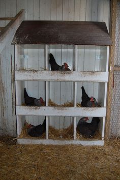"Busy Silver leghorn hens laying in the spring. I like to call this picture ""Chick Tac Toe"""