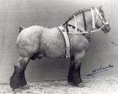 Belgian draft, one of the heaviest draft horses; known for their extremely docile temperments