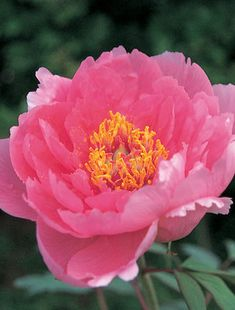 The petals of the semi-double, soft pink flowers are short enough to form a neat rosette around the circle of soft yellow stamens. The flowers are borne. All Plants, Types Of Plants, Claire Austin, Tree Peony, Plant Order, Root System, White Wings, Day Lilies, Rosettes