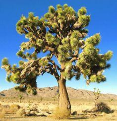 YUCCA-BREVIFOLIA-succulent-cactus-JOSHUA-TREE-aloe-agave-garden-seed-15-SEEDS