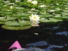 My pink kayak among the lily pads.~