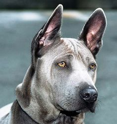 Today the Thai Ridgeback is considered a very rare breed outside of Thailand, with only an estimated 300 in the United States. The United Kennel Club recognized this dog breed in Thai Ridgeback, Large Dog Breeds, Large Dogs, Hound Dog Breeds, Dog Varieties, Rhodesian Ridgeback, Dog Eyes, Dog Show, Terrier Mix