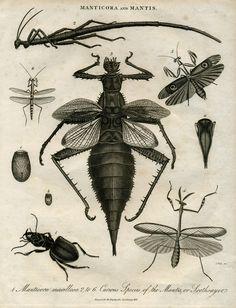 Manticora and Mantis, vintage illustration