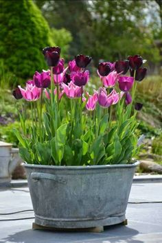 """I love tulips! A word to the wise . """"My Garden My Wonders - I love tulips! A word to the wise …… """"My Garden My Wonders - Garden Bulbs, Garden Pots, Balcony Garden, Container Plants, Container Gardening, Beautiful Gardens, Beautiful Flowers, Large Plants, Small Gardens"""