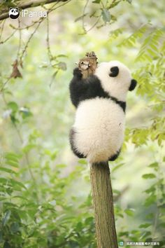 Cute Baby Animals, Animals And Pets, Funny Animals, Baby Pandas, Cute Panda, Panda Panda, Panda Bears, Panda's Dream, Panda Wallpapers