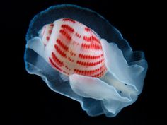 Japanese Sea Snail ~ rather ethereal, dontcha think?