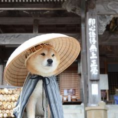 Looking like Kung Fu Shiba - Topcanineclubhouse.com