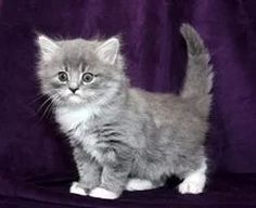 RagaMuffin Breeder of RagaMuffin kittens and RagaMuffin cats for sale. Ragamuffin Kittens, Kittens Cutest, Cats And Kittens, Kitten For Sale, Cats For Sale, Fancy Cats, We Fall In Love, Gentle Giant, Cat Breeds