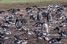 Gentoo Penguin Nesting Site