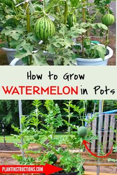Learn how to grow watermelon in pots in order to save garden space, prevent weeds from sprouting, and keep pests away. Growing watermelon in pots or containers is completely doable and will save… Growing Fruit, Plants, Growing Plants, Growing Watermelon From Seed, Growing Melons, How To Grow Watermelon, Container Gardening, Container Gardening Vegetables, Watermelon Plant
