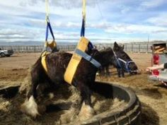 Horse Rescued From Tractor Tire Feeding Trough