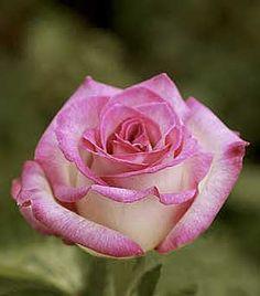 ~Lynn Anderson Rose, cream edged in deep pink, a long-lasting hybrid tea.