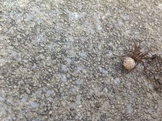 Female wolf spider carrying her egg sac.