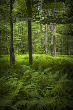 Ferns In A Vermont Woodland Forest www.discoververmontvacations.com