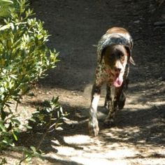 I love these kinds of stories! The California GSP Rescue doesn't turn dogs away because they are broken, they fix them and find them a forever home! Gsp Rescue, German Wirehaired Pointer, Kinds Of Story, Broken Leg, Chester, Pointers, 6 Years, Best Dogs, Doggies