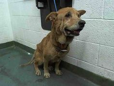 THE FACE OF NEGLECT - GRACE (A1652336) I am a female tan German Shepherd Dog mix. The shelter staff think I am about 12 years old and I weigh 45 pounds. I was found as a stray and I may be available for adoption on 10/20/2014. — hier: Miami Dade County Animal Services. https://www.facebook.com/urgentdogsofmiami/photos/pb.191859757515102.-2207520000.1413485959./857121754322229/?type=3&theater