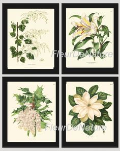 BOTANICAL Print SET of 4 Art Prints 8x10 Wendel Beautiful White Large Magnolia Lily Grape Fruit Spring Summer Garden Antique Wall Home Decor by FleurDeNature on Etsy https://www.etsy.com/listing/215933089/botanical-print-set-of-4-art-prints-8x10