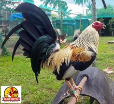 Pet Chickens, Chickens Backyard, Game Fowl, Game Birds, Chicken Breeds, Egg Art, Baby Chicks, Coops, Abandoned Houses