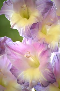 Gladiolus ~ Purple and Yellow