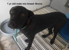 ***SUPER URGENT!!!*** - PLEASE SAVE BRUNO!! - EU DATE: 8/16/2014 -- bruno  Breed: Black Labrador Retriever  Age: Young adult Gender: Male  Size: Medium,  hasShots,  -  Call Silvia and Debbie now,,,,,Silvia is 910-876-0539 and Debbie is 339-832-0806. If Silvia's mailbox is full you can Text her. Transportation is generally available up and down the East Coast from NC, VA, MD, NJ, PA, NY and the North East.