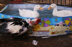 168 best duck pool ideas images in 2019 ducks chicken - Duck repellent for swimming pools ...