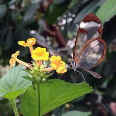 "Time to announce the winners of the #wisleywings photo competition, as judged by RHS Photographer of the Year and The Garden magazine editor Chris Young. In 3rd place was @bigtedders - ""at the heart of this photograph is the relationship between this stunning glasswing butterfly (parts of which almost seem invisible) and yellow-flowered Lantana camara"". Congratulations!"