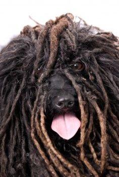 """I'm hip!"" #dogs #pets #Pulis (Hungarian dog breed) Facebook.com/sodoggonefunny"