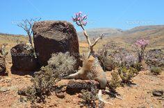 Desert Rose Socotra Island   Iêmen, ilha de socotra, árvores de garrafa (rosa-deserto - adenium ...