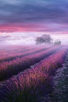 Misty Lavender Field - Provence, France
