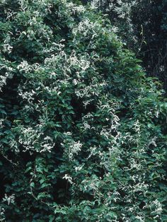 Mile a Minute Plant. Climber. Grows VERY fast, lovely deep green.