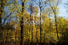 autumn trees. - Forest with autumn trees.