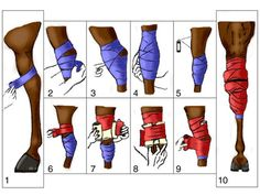 Wrap or Bandage a Hock - Site from University fo Kentucky showing how to bandage Knee, forearm, standing wraps