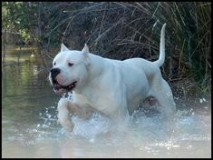 Dogo Argentino, said to be wonderful family dogs because they can take a beating. Bred for boar hunting these does are fiercely protective. Big Dogs, I Love Dogs, Dogs And Puppies, Doggies, Pitbull Terrier, Beautiful Dogs, Animals Beautiful, Dog Argentino, American Staffordshire Terrier