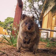 Saluti from a quokka #rottnestisland #rottnest #perth #australia #rottnestexpress #perthlife #beach #westernaustralia #wa #travel #island #sea #sun #quokka #ocean #lovemyrotto #travelling #seeaustralia #rotto #thisiswa #sunshine #picoftheday #perthcity #spring #quokkaselfie #quokkas #animal #cute #nature by drtods http://ift.tt/1L5GqLp