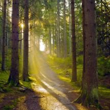 Swedish forest and rays of sunlight