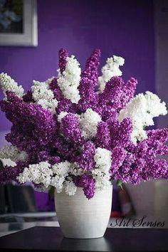 Lilacs and more lilacs