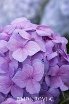 Monrovia's Let's Dance® Moonlight Hydrangea details and information. Learn more about Monrovia plants and best practices for best possible plant performance.