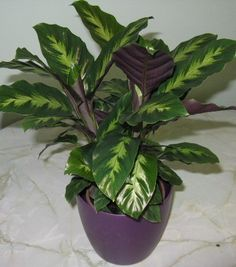 Calathea Misto: high humidity ended to prevent brown leaf tips. More how to grow care tips: Calathea rufibarba – 'Velvet Calathea' or 'Furry Feather Calathea' Calathea is a beautiful genus of foliage plants. Water Plants Indoor, Outdoor Plants, Plantas Indoor, Calathea Plant, Low Light Plants, Plants Are Friends, Interior Plants, Foliage Plants, Landscaping Plants