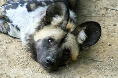 Funny African Wild Dogs | African Wild Dog Puppies Wallpaper Pictures On Collection