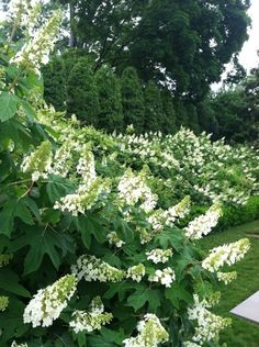 Birmingham in Bloom; Oak Leaf Hydrangeas are among my favorite flowering plants.