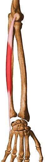 Extensor Carpi Ulnaris: Origin - 1. lateral epicondyle of humerus, 2. posterior border of ulna. Insertion: base of 5th metacarpal. Action - extends and adducts hand at wrist joints.