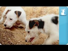 Jack Russell Terrier puppy fun.