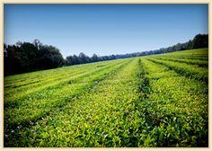 Charleston Tea Plantation- the ONLY tea plantation in the US