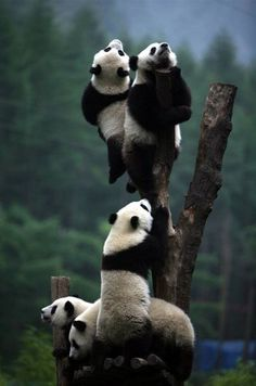 Panda looking at the sky Animals Of The World, Animals And Pets, Baby Animals, Funny Animals, Cute Animals, Wild Animals, Cute Bear, Cute Panda, Panda Tree