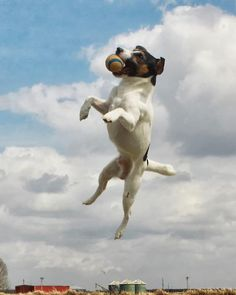 Jack Russell Terrier Dog Training with the No Brainer Dog Trainer, JRT dog training How to train your Jack Russell Terrier Perros Jack Russell, Chien Jack Russel, Jack Russell Dogs, Jack Russell Terrier, Rescue Dog Quotes, Rescue Dogs, Jumping Dog, Flying Dog, Photo Animaliere