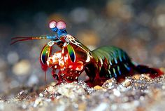 Mantis Shrimp by life-sea.blogspot...:  Solitary and violent with powerful claws which it uses to spear, dismember and kill prey the Mantis shrimp has been known to break aquarium glass with a single blow. It has enormous and astonishing eyes with 16 types of cones for color vision (Humans have three.), is able to see polarized light, has independently moving eye stalks, and  trinocular vision and depth perception. via en.wikipedia.org/... #Mantis_Shrimp #life_sea_blogspot