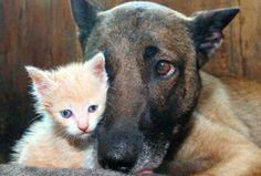 """Coco, a Belgian shepherd at a Niagara Falls farm, has given birth to eight puppies, but she has nine new mouths to feed.  Coco has adopted a kitten that was also recently born on the farm to a cat named Mommy.  """"She climbs over, bites her ears, plays with its tale, and drinks milk — she going to think she's a puppy,""""  Mother's know best. It's a bond that is unique !!!!"""