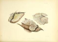 28-Birch Tree Daedalia, daedalia betulina   ...