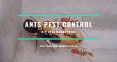 Ants Pest Control is important because they contaminate food & present health risks. To control their infestation, you first need to know what attracts them the most so that ants are not drawn to your home in the first place. Ant Pest Control, Pest Management, North Shore, Ants, Need To Know, Attraction, Health, Food, Health Care